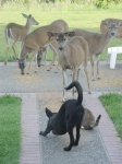 Deer hang around our yard twice a day.  Our dog and cat like the deer food, and have to bluff their way past this doe to