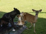 Our dog aand cat playing in the fourwheeler with a doe acting like she would like to join them.