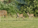 More of the twin fawns.